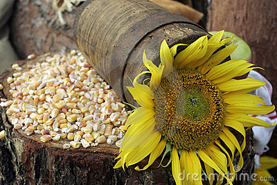 Sunflower and maize