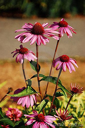 Purple echinacea in bloom