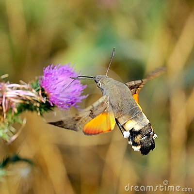 Hummingbird hawk-moth (Macr