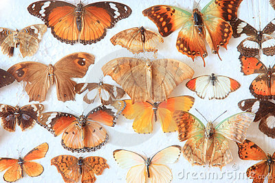 Old home collection of butterflies