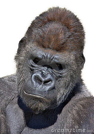 Gorilla portrait in vertical