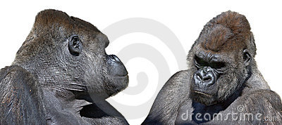 Two gorilla looking face to face