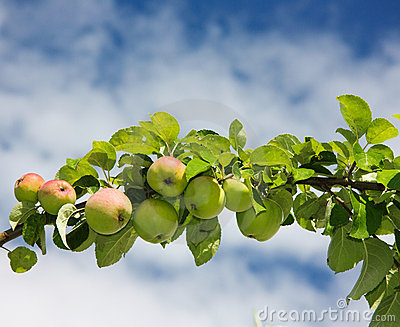 Branch of apples