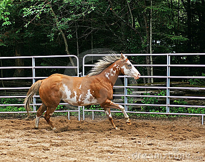 Paint Horse in Ring