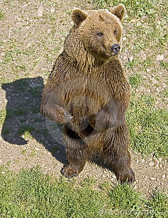Brown bear 21