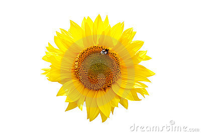 Isolated sunflower