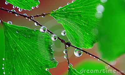 Adiantum with water drops