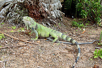 Colorful Iguana 1