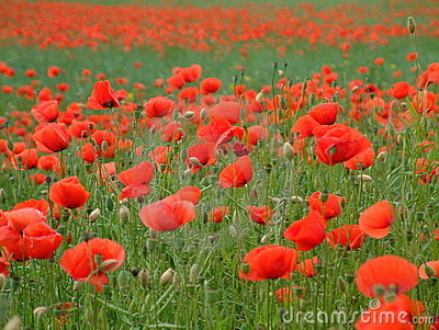 Red poppies in France