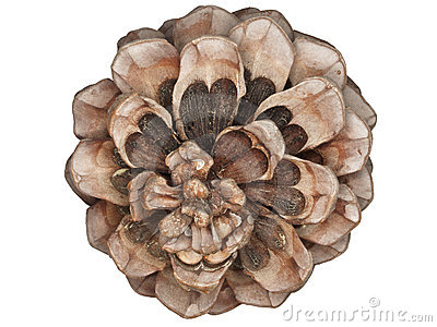 An umbrella nut: a pine nut