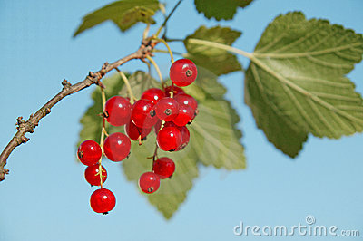 Red currant on blue