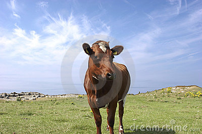 Summer Cow (brown)