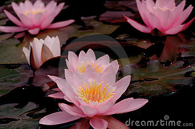 Pink Waterlillies