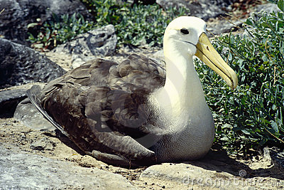 Albatross - Galapagos Islands