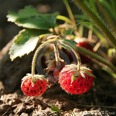 Strawberry on branch