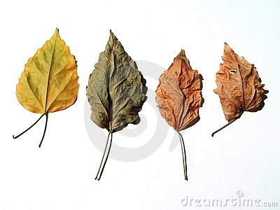 Four dry leaves
