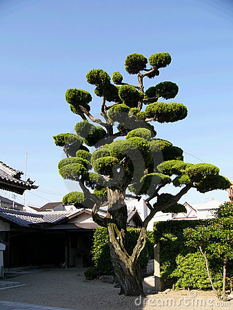 Japanese tree on the temple backyard