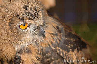 A Staring Owl