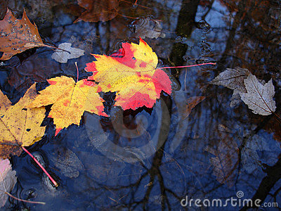 Colorful leaves on water surface