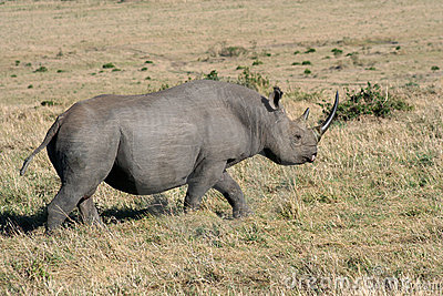 Black Rhino Passing By