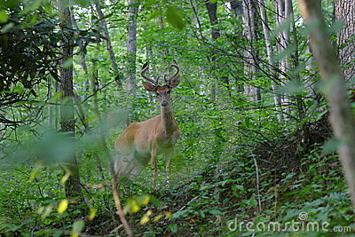 Antlered Whitetail Deer in Velvet