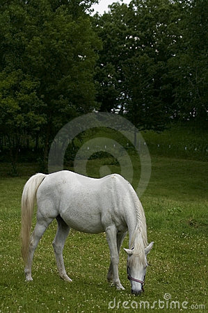 Gray Arabian mare