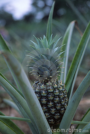 Growing Pineapple2