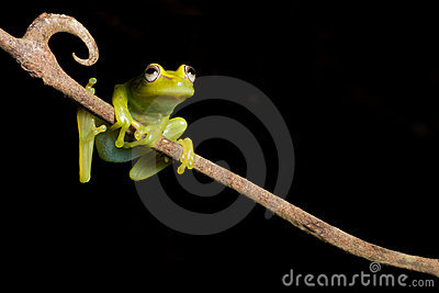 Tree frog green isolated tropical amphibian copy