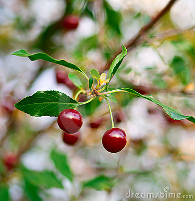 Ripe cherry with red berries