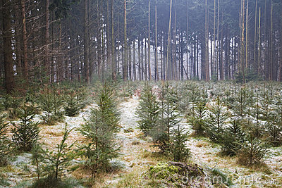 Christmas trees in the forest
