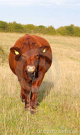 Red Devon Steer