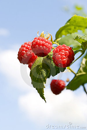 Red raspberries ripening with green leaves