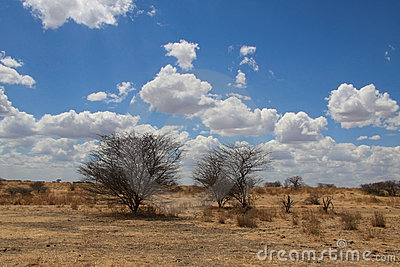 African landscape. Two bushes in savanna