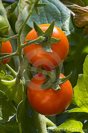Cherry tomatoes on the vine, vertical