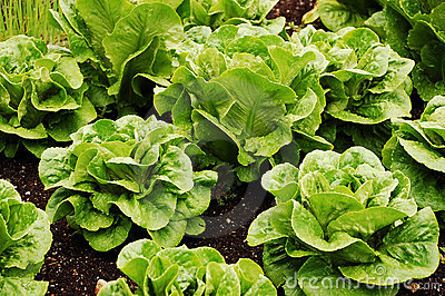 Green romaine lettuce