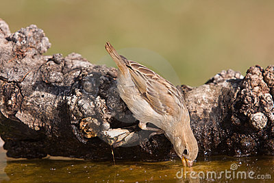 Sparrow drinking