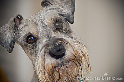 Miniature Schnauzer dog with brown eyes