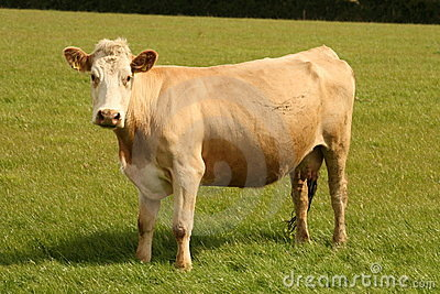 You can trust this cow