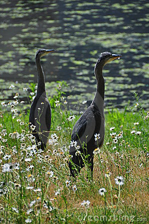 Two Herons by a pool