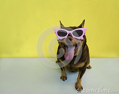 Fat Chihuahua dog wearing a pink glassed