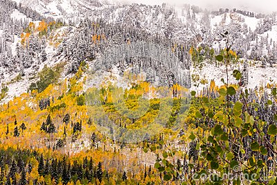 Fall Leaves Among the Pine Trees at Guardsman Pass