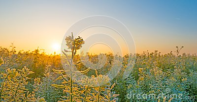 Field with flowering rapeseed in a foggy field at sunrise at fall