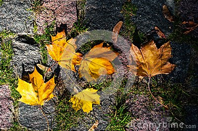 Maple leaves in the light of sunlight fell on the stone blocks with moss.