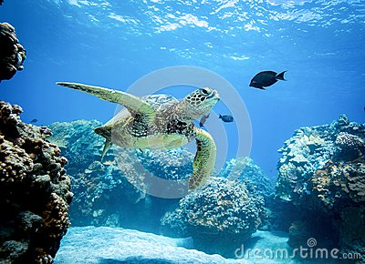 Turtle swims through a reef