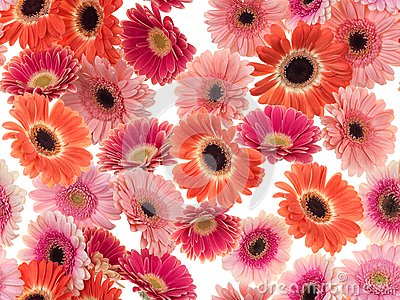 Photographed pink/purple/orange Gerber Daisies on a white background. Seamless image to be repeated endlessly.