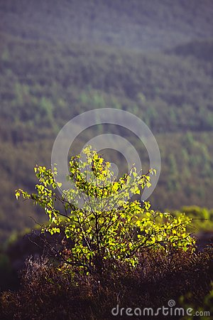 The early morning sun lights up a young sapling tree in the hill