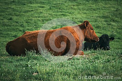 Two cows, one brown and one black, lie in a field taking a rest