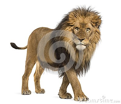Side view of a Lion walking, looking at the camera, Panthera Leo