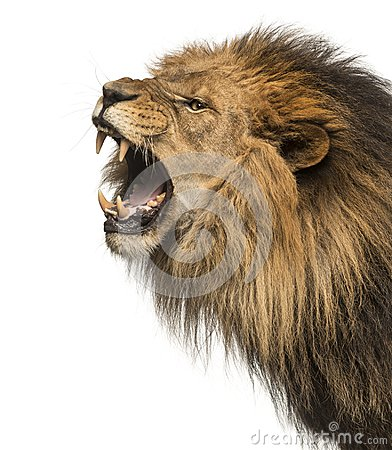Close-up of a Lion roaring profile, Panthera Leo, 10 years old,