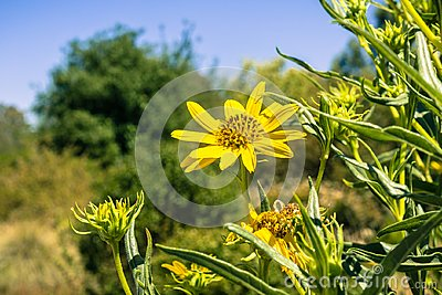 Grindelia stricta wildflower blooms on a sunny day, California
